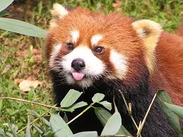 Red%20Panda%20Tongue